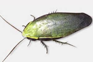 Cuban Roach