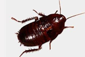Florida Roach