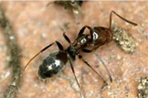 Odorous Ants