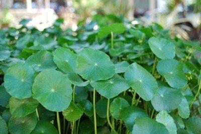 Dollar Weed (Pennywort)